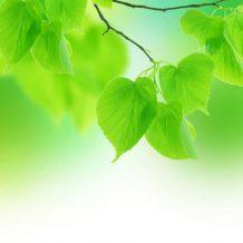 молодая листва